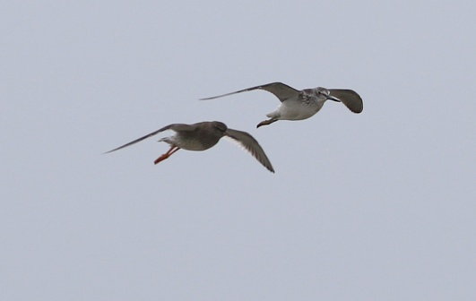 Redshank and a Greenshank, Cley, 27th August