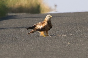 Red Kite, Boughton, 15th July
