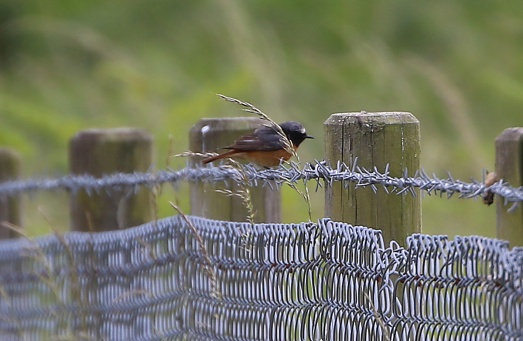 Redstart, male, Grimes Graves 21st June