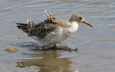Ruff, Titchwell 18th July