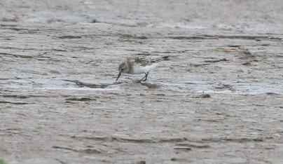 Semipalmated Sandpiper, Snettisham, 29th July
