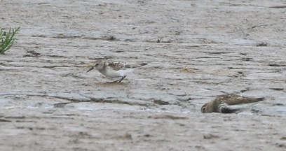 Semipalmated Sandpiper, Snettisham, 29th July