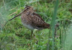 Snipe, Cley, 27th August