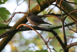 Spotted Flycatcher, Cockley Cley 7th May