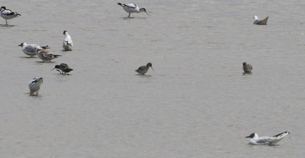 Spotted Redshank, Titchwell 18th July