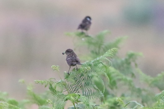 Stonechat, Thetford Forest, 29th June
