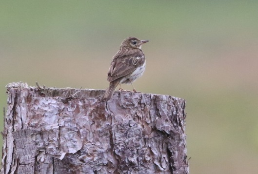 Tree Pipit, Thetford Forest, 29th June