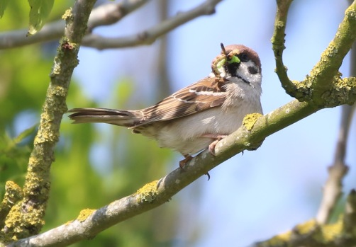 Tree Sparrow, Cockley Cley 23rd May