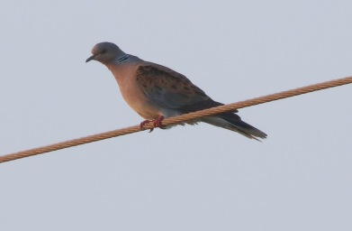 Turtle Dove, Narborough, 18th May