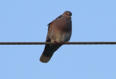Turtle Dove, Narborough, 17th May