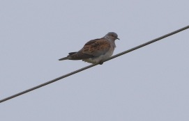 Turtle Dove, Narborough 14th May