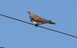 Turtle Dove, Beachamwell, 29th June