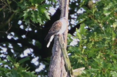 Turtle Dove, Thetford Forest 24th June