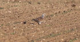 Turtle Dove, Narborough 11th June
