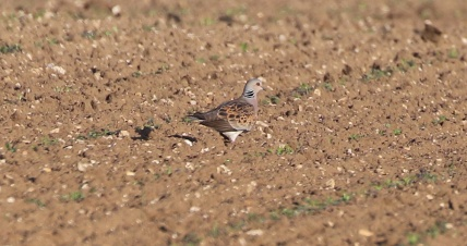 Turtle Dove, Narborough 11th June