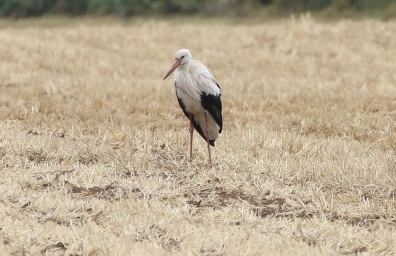 White Stork, Hembsy 16th August
