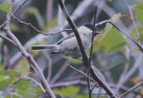 Willow Tit, Cockley Cley 26th August