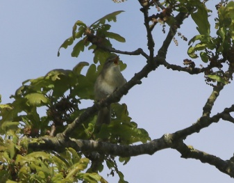 Willow Warbler, Cockley Cley 12th May