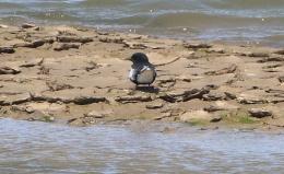 White-winged Black Tern, Burnham Overy, 24th May