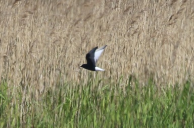 White-winged Black Tern, Burnham Overy, 24th May