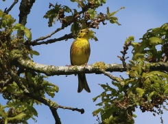 Yellowhammer, Cockley Cley 12th May