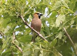 haw male 18618