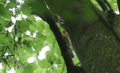 male feeding fledged chick