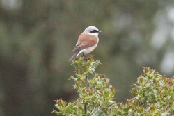 RED BACKED SHRIKE 8-6-13 b