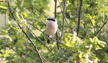 RED BACKED SHRIKE SANTON DOWNHAM 4-6-13S