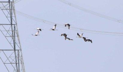 9 Crane, Welney 21st September