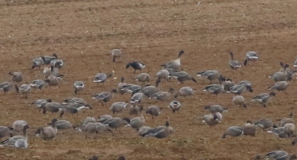 Grey-bellied Brant, Fring, 28th December