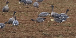 Tundra Bean Goose, pair of adults, Fring, 28th December
