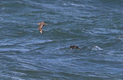 Arctic Skua, Cley 23rd September