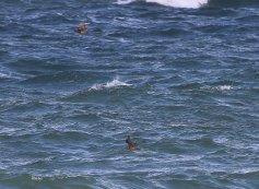 Arctic Skua, Cley 23rd September
