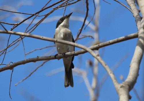 Black-winged Flycatcher Shrike, Baluran