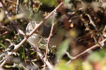Barred Warbler, Burnham Overy Dunes, 28th October