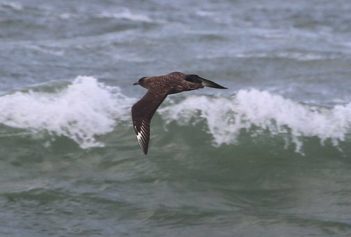 Great Skua, Cley 23rd September