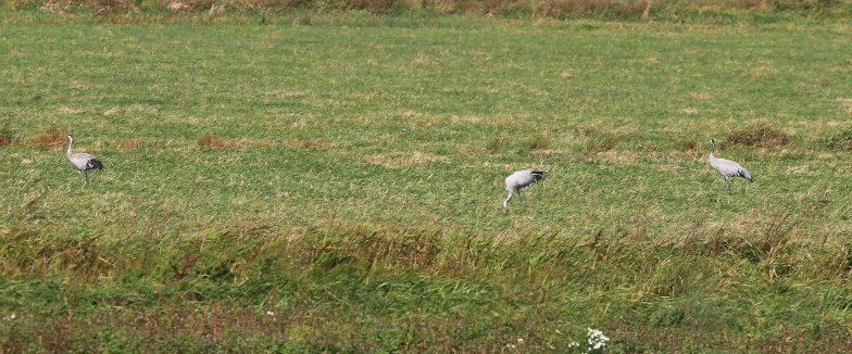 3 Crane, Welney 21st September