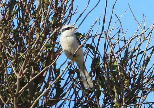 Great-grey Shrike, Burnham Overy Dunes, 18th October