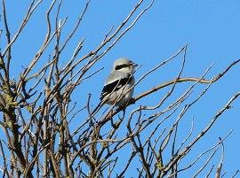 Great-grey Shrike, Burnham Overy Dunes, 18th October