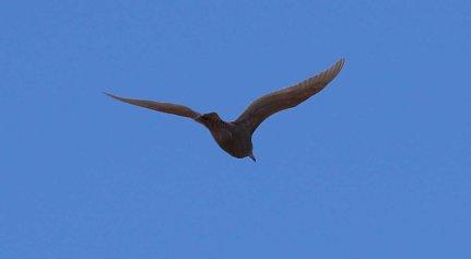 Glaucous Gull, Burnham Overy Dunes, 28th October