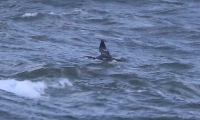 Great Northern Diver, Cley 27th October