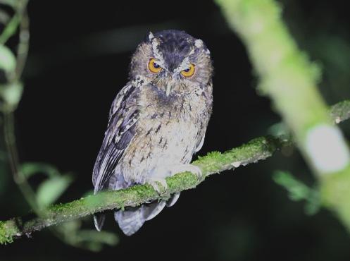 Javan Scops Owl, West Java