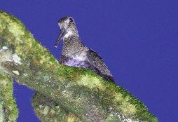 Sunda Woodcock, West Java