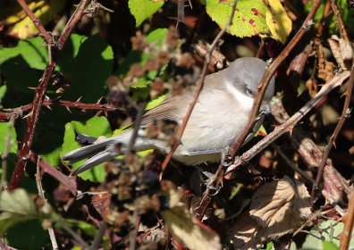 Eastern Lesser Whitethroat, Burnham Overy Dunes, 18th October