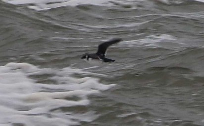 Little Auk, Cley 27th October