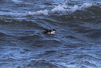 Little Auk, Burnham Overy Dunes, 28th October