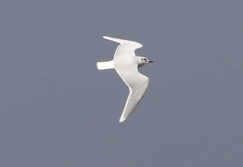 Little Gull, Burnham Overy Dunes 28th October