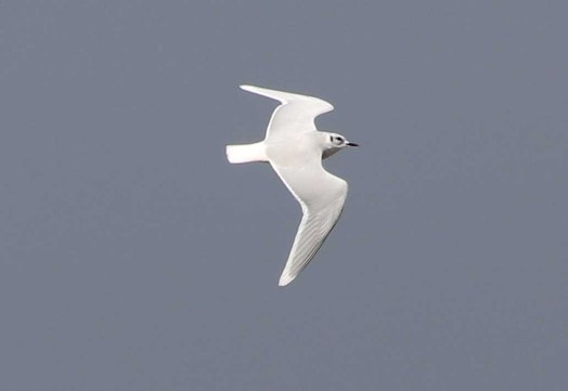 Little Gull, Burnham Overy Dunes 28th October
