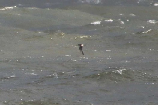 Long-tailed Skua, Cley 27th October